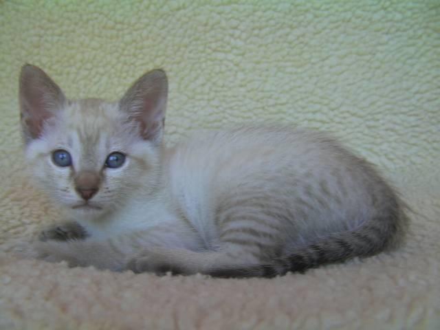 Jarmila Siamese - Traditional Siamese Cats